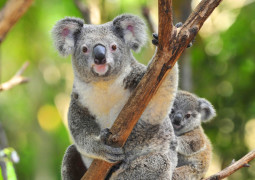 Cropped koala photo with increased saturation