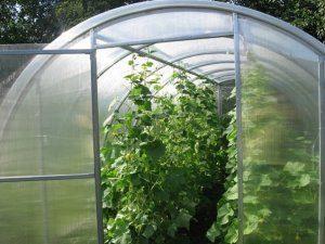 Выращивание огурцов в теплице как бизнес круглый год