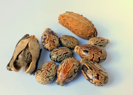 Castor oil seeds with one cracked open