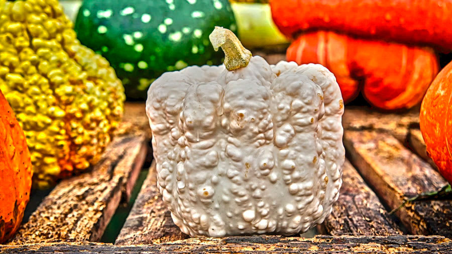 Gray squash with warts and multiple colors of squashes in background all on a wooden table