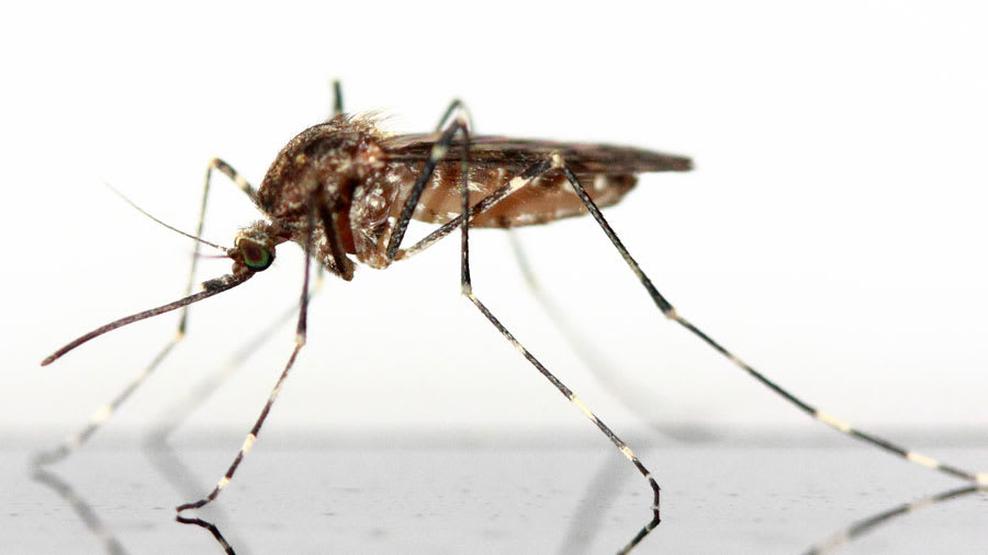 Mosquito resting on a reflective table
