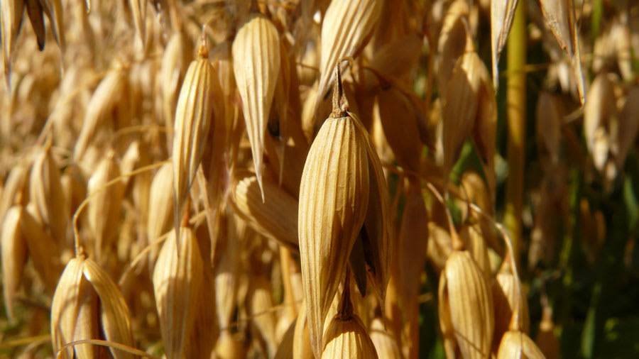 Golden Oat Plants in a Field