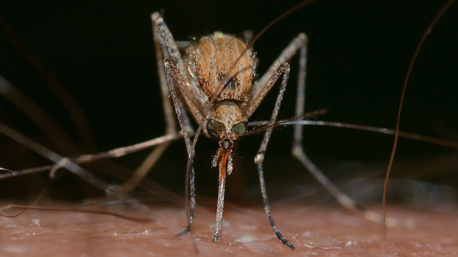 Close up of mosquito biting the skin