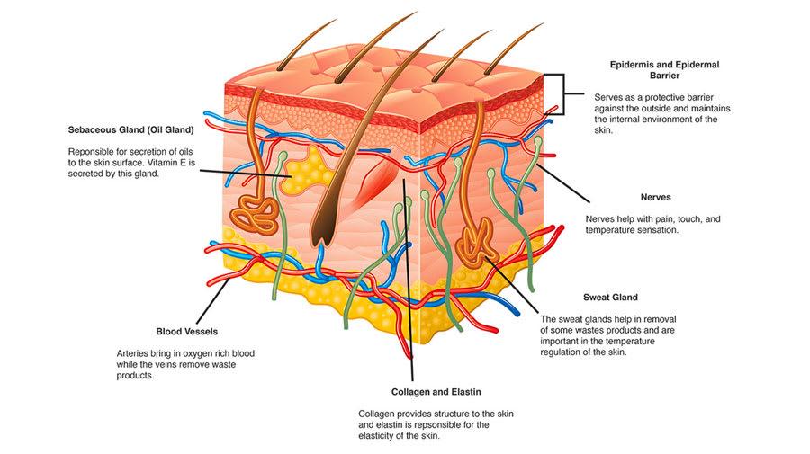 Naturopathic schematic of the skin