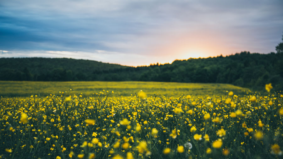 ​field-of-yellow-wildflowers-at-sunset