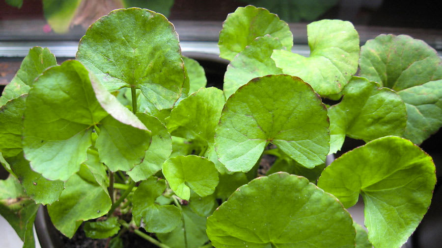 Gotu kola centella asiatica plant with multiple leaves showing