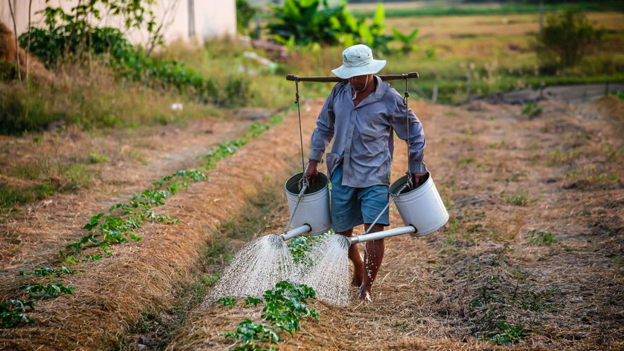 Man Watering Crop Plants
