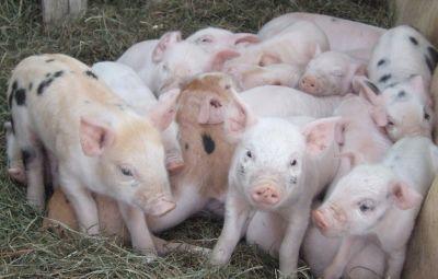 Nuevas Tecnologías en la Alimentación Porcina