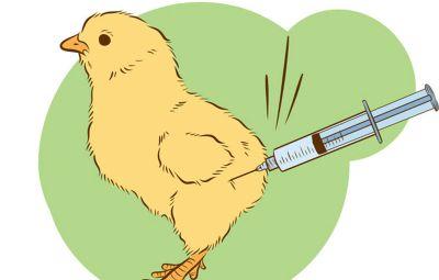 ¿Es verdad que al pollo le inyectan hormonas?
