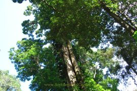 Imensos árboles de mas de 60 metros, forman la capa vegetal que cubre las montañas