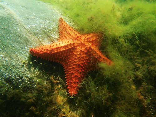 Estrellas de mar de la La Ciénaga