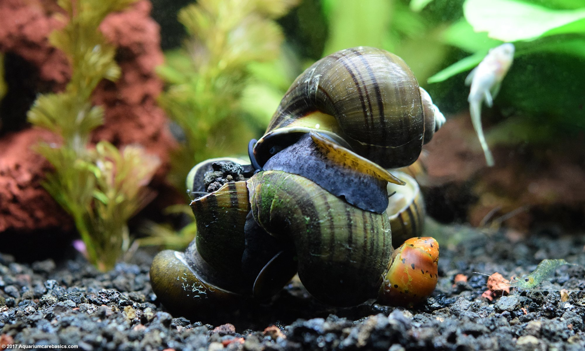 Snails freshwater fish tank