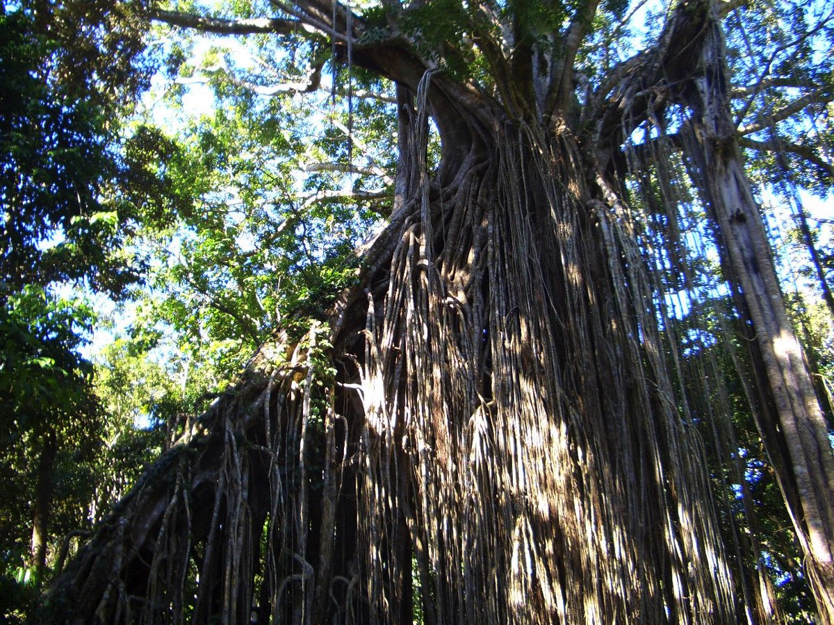 カーテンフィッグツリー