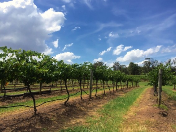 ワイン畑の風景