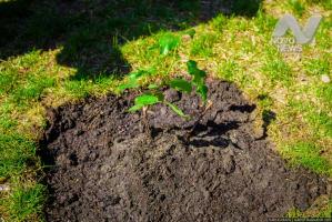 В Анненково посадят «сталинградский» тополь