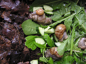 Food snails eat