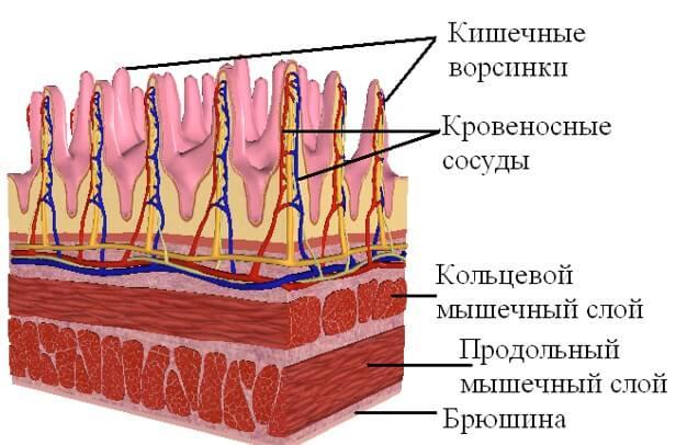 Ворсинки тонкого кишечника (схема)
