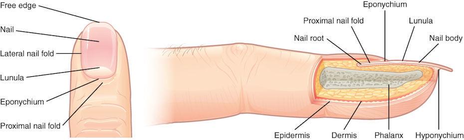 Dermatology fingernails