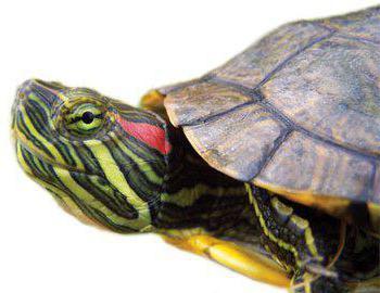 Чем отличаются мальчик от девочки черепахи