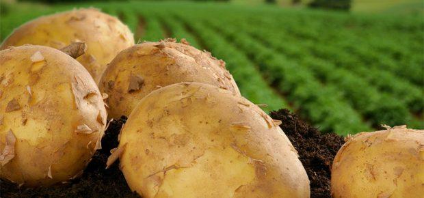 Выращивание картофеля как бизнес