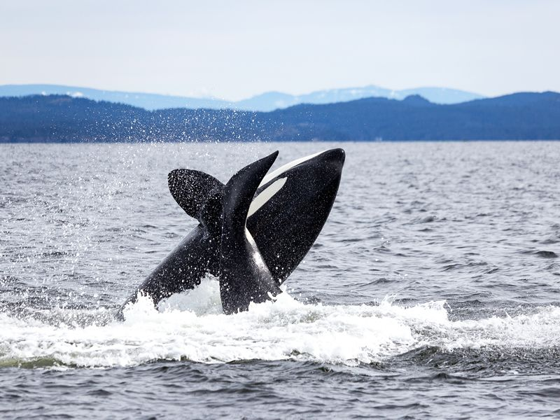 orcas queen charlotte islands