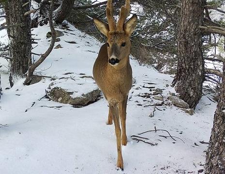 Тюменские браконьеры застрелили в Зауралье четырех косуль и бросили туши в лесу