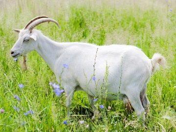 Снится коза