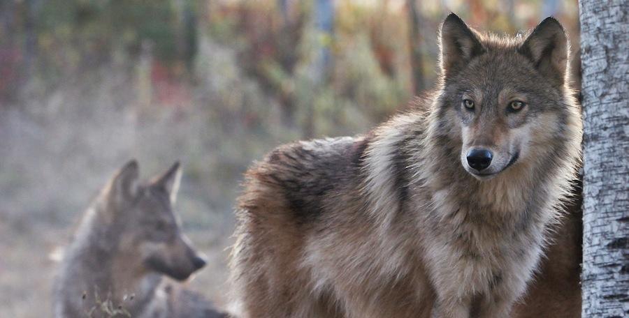 Wolves - seven marks of false teachers