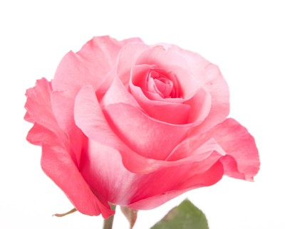Розы пинк лав фото