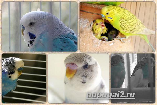 Чем отличаются попугаи девочки и мальчики
