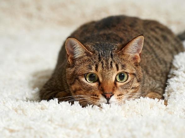Кошачья моча на ковре
