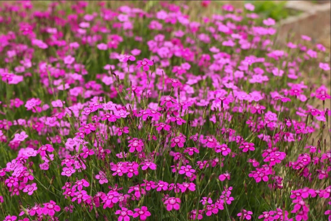 Dianthus armeria_2
