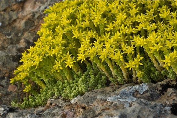 planten-op-daken-sedums-vetplanten