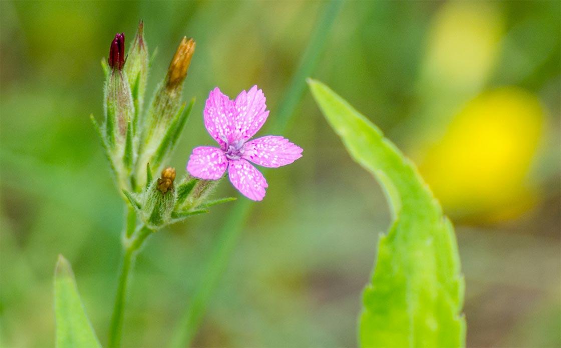 Dianthus armeria_1