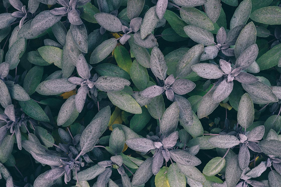 Salie- Salvia