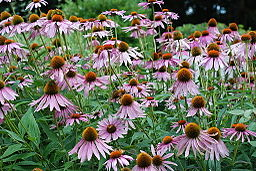 Purple_Coneflower_(Echinacea_purpurea)-1