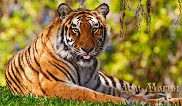 Сонник гладить тигра