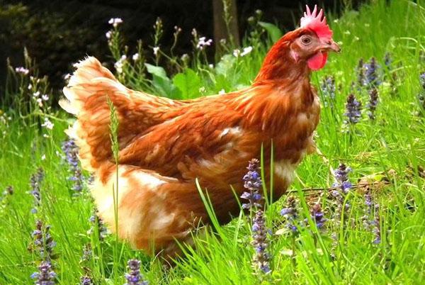 Обучающий курс высокопродуктивное разведение кур