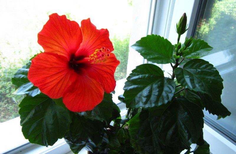 Цветок гибискус приметы
