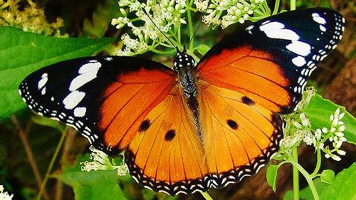 Большая бабочка сонник