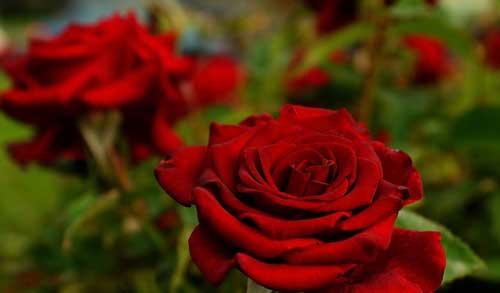 К чему сниться розы красные