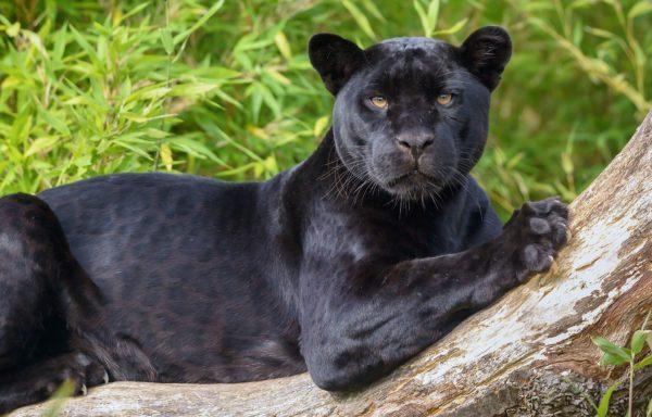 Приснилась черная пантера к чему
