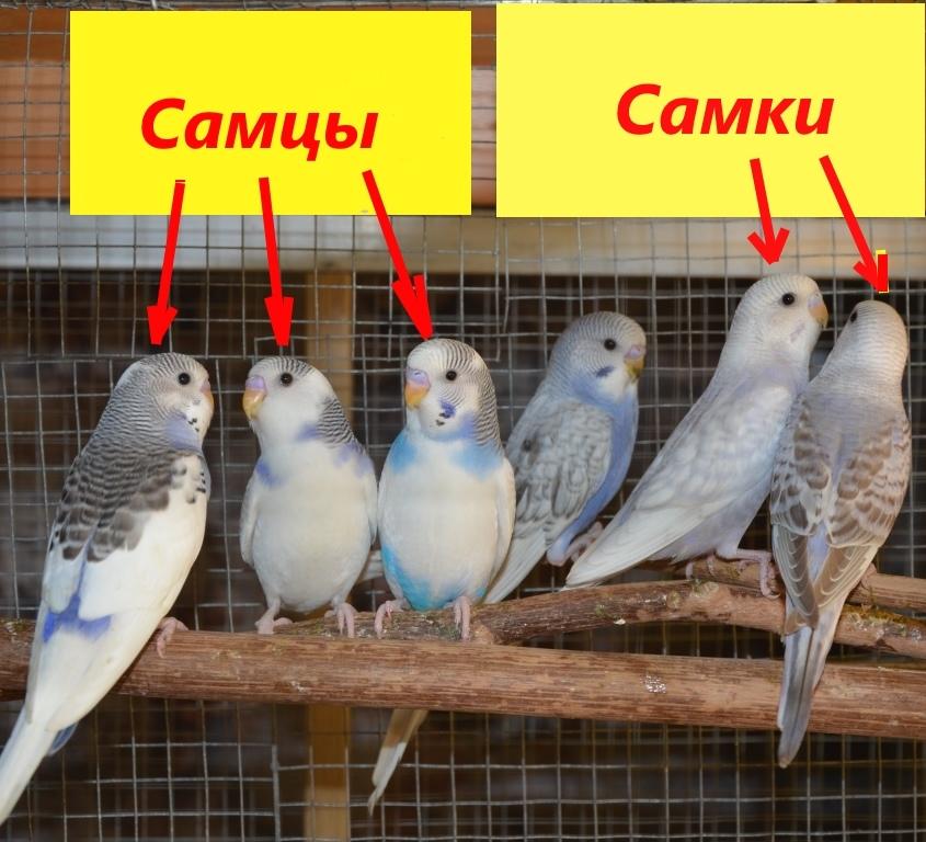 Самцы и самки волнистого попугая