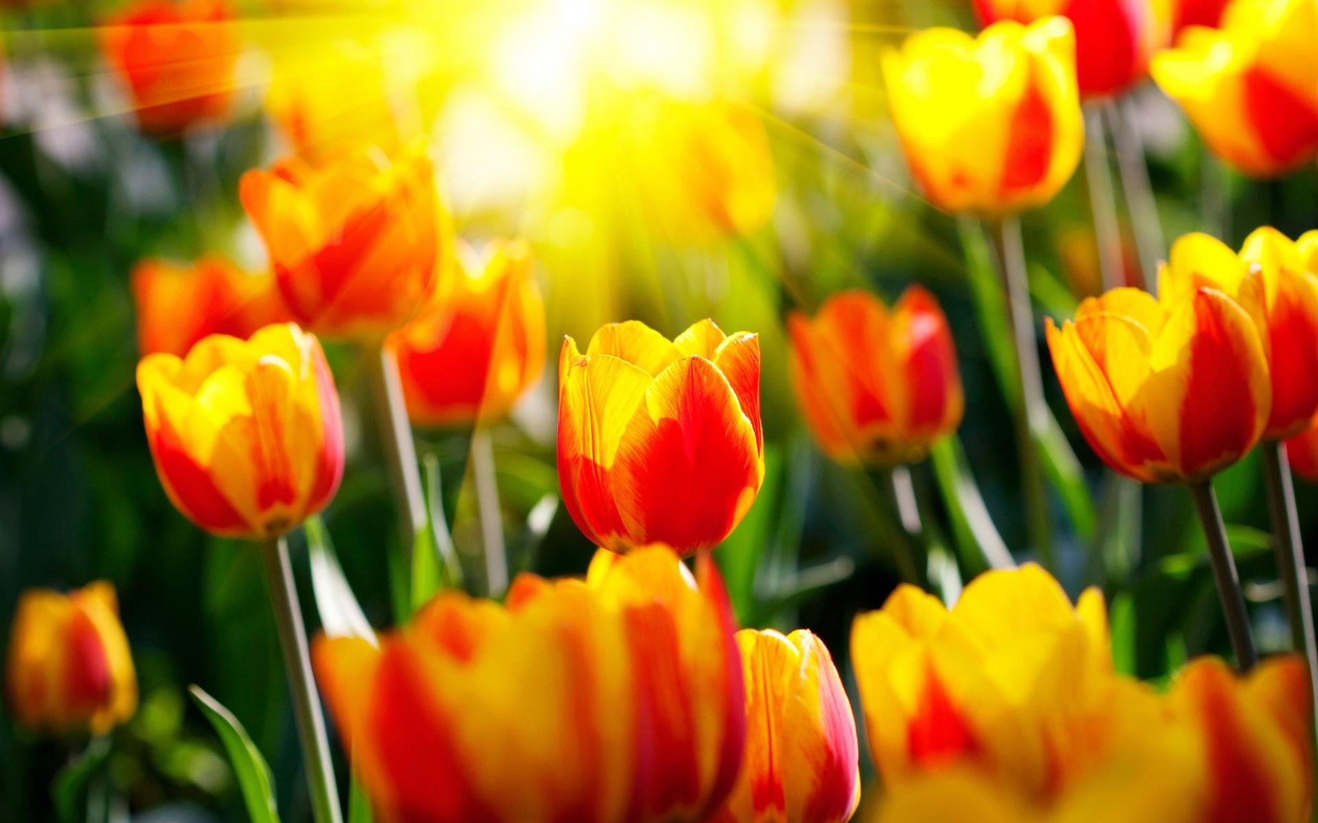 Как правильно высадить тюльпаны осенью