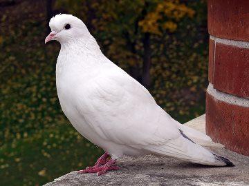 Видеть во сне белого голубя