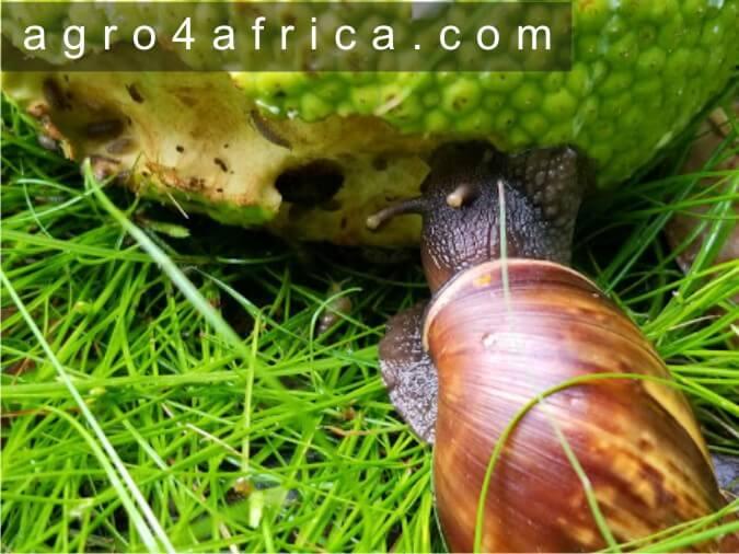 How do snails feed