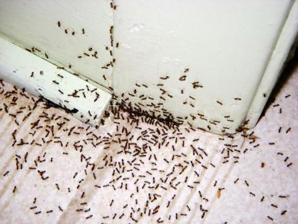 Появление муравьев в вашей квартире