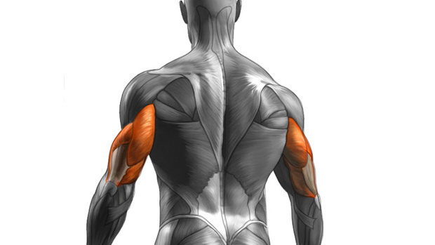 build arm muscles anatomy