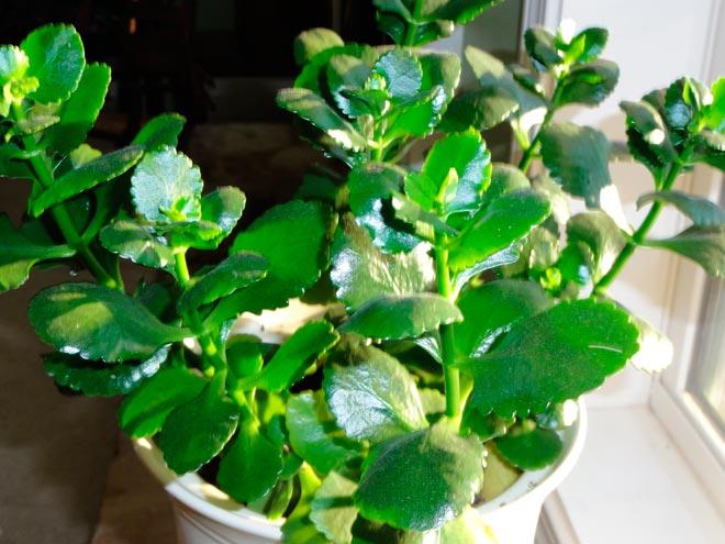 Почему не цветет каланхоэ а дает только листву