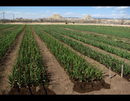 Бизнес по выращиванию чеснока